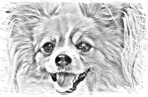 Dibujo de un chihuahua