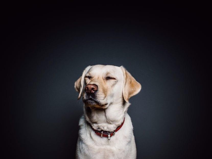 Perro adulto