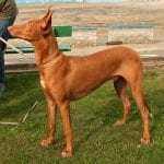 Perro egipcio adulto