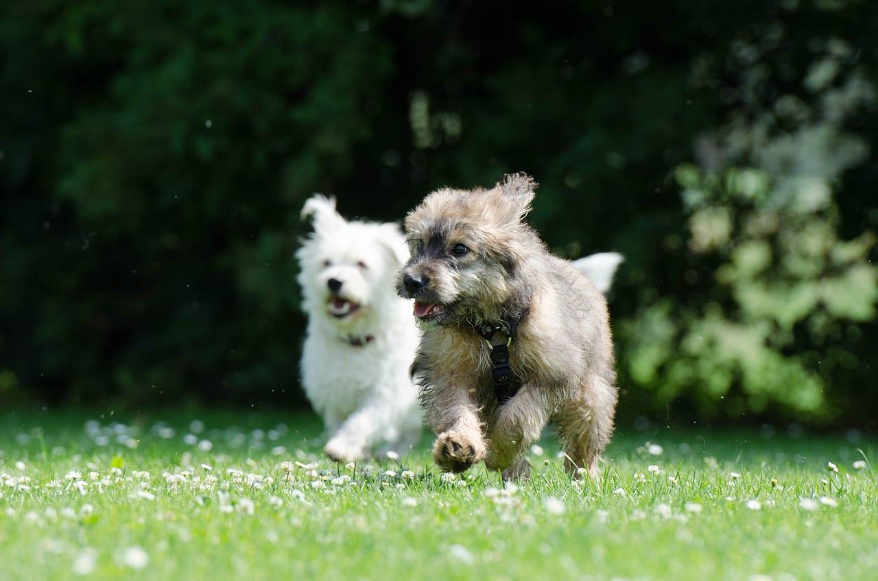 Perros corriendo juntos