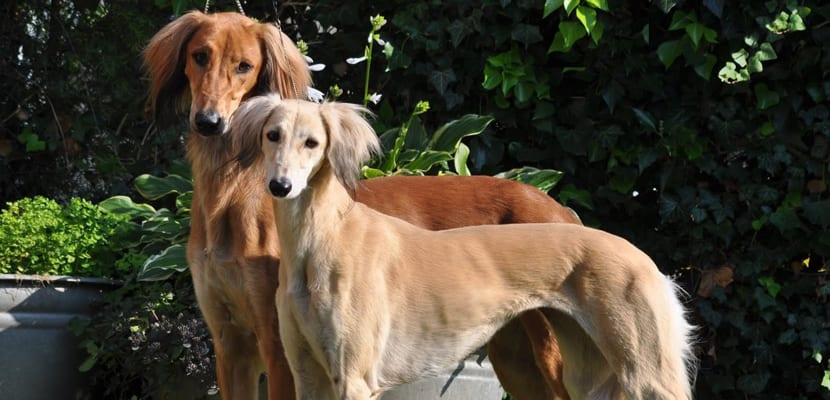 saluki-perro-real-de-egipto