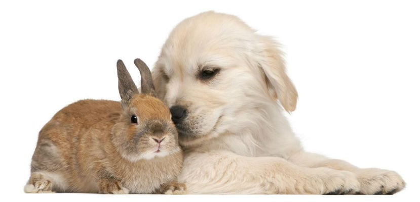 Conejo con cachorro de Golden Retriever.