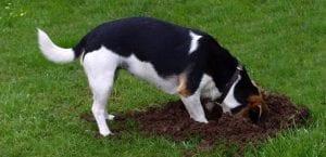 Perro haciendo agujeros