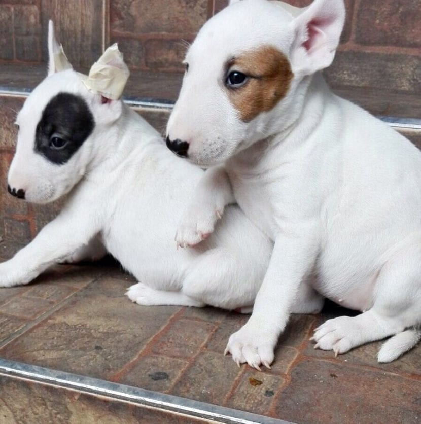 Cachorros de Bull Terrier inglés