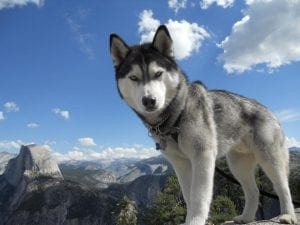Husky siberiano con ojos azules