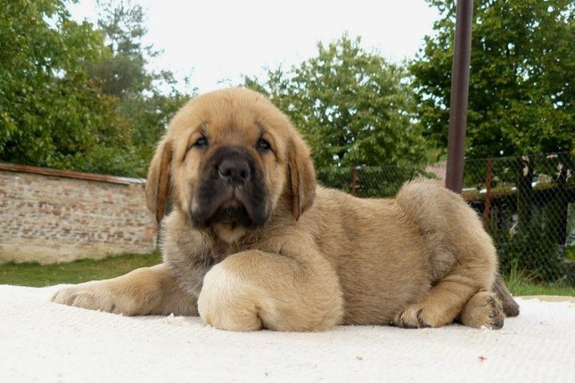 Cachorro de mastín español