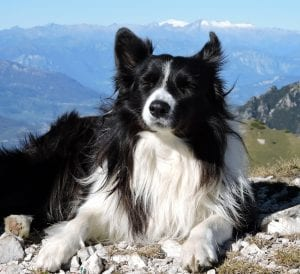Border Collie adulto