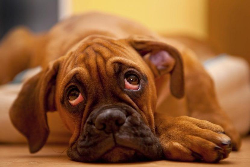 como saber que un perro tiene conjuntivitis