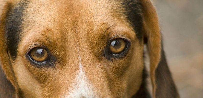 Primer plano de los ojos de un perro.
