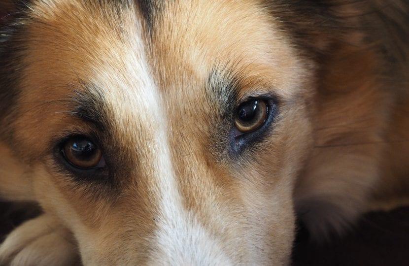 ojos-de-perro