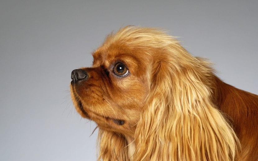 perro-con-otitis