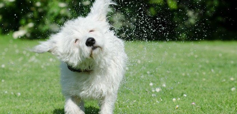 Perro mojado sacudiéndose.