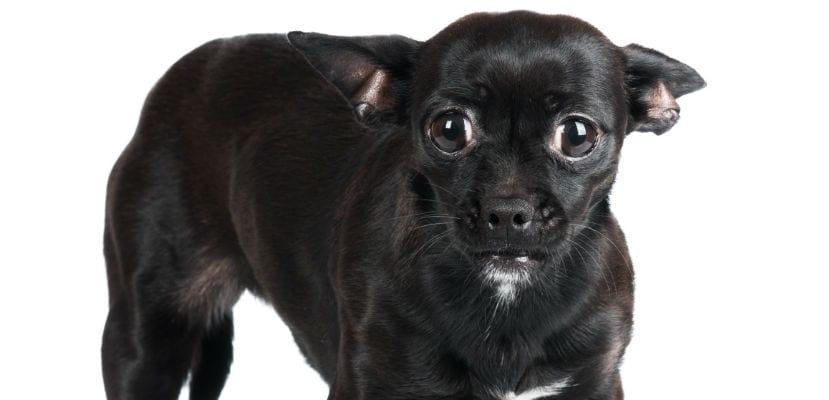 Chihuahua negro.