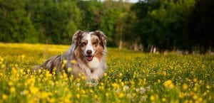 Border Collie en el campo.