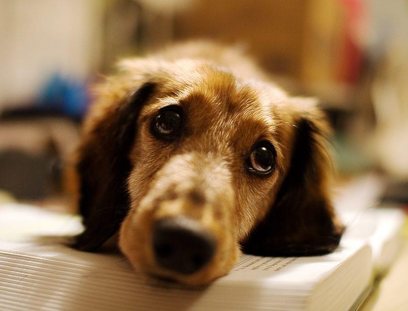 Perro dachshund triste