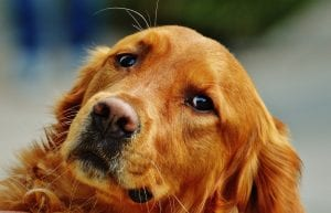 Golden Retriever adulto