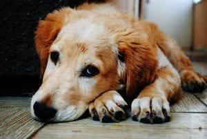 Perro adulto triste
