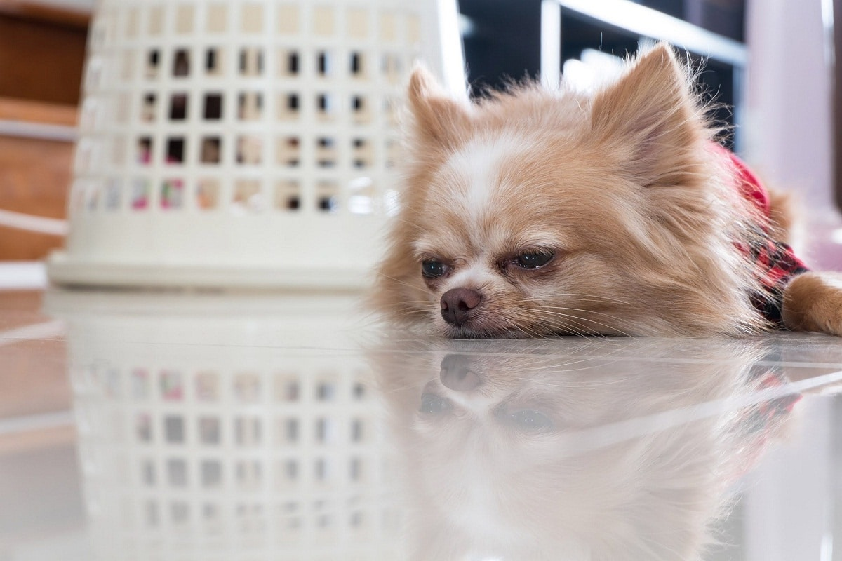 Lleva a tu perro al veterinario si crees que tiene una infección de orina