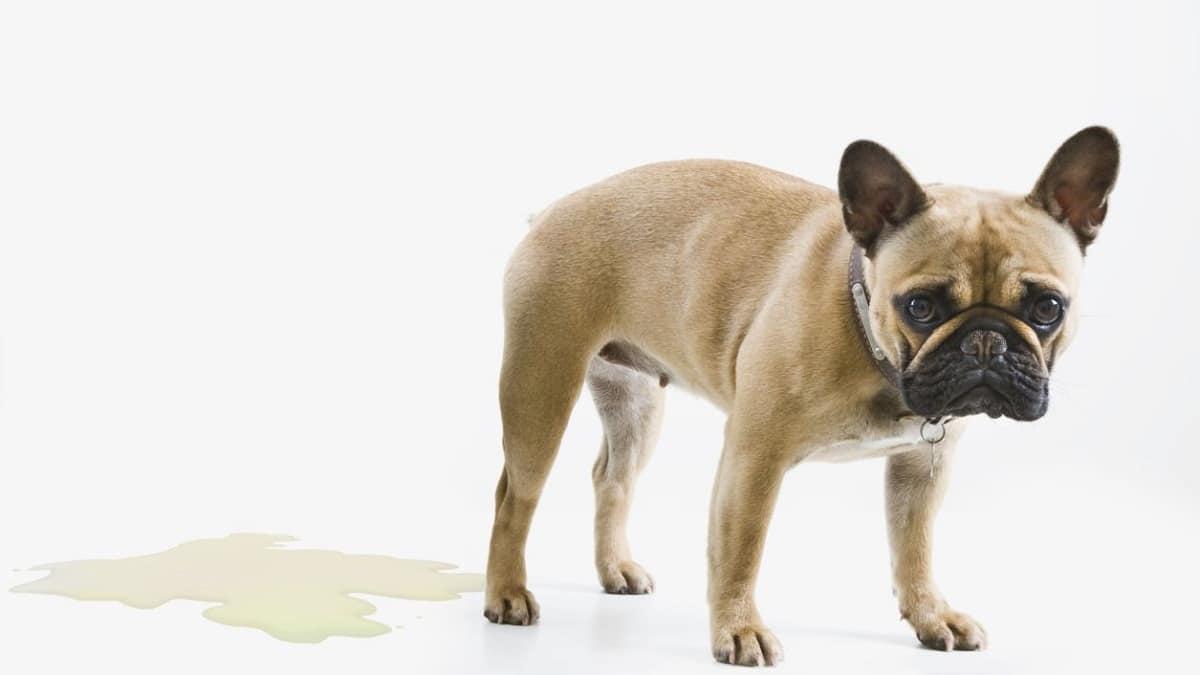 Los remedios caseros por sí solos no sirven para curar la infección de orina del perro