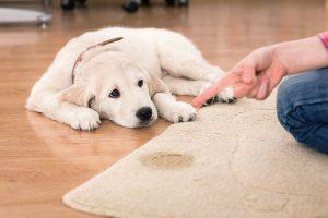 Si tu perro tiene una infección de orina, no le riñas