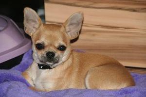 Chihuahua con sobrepeso