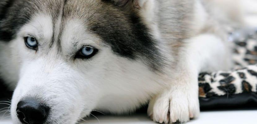 Pelaje Husky