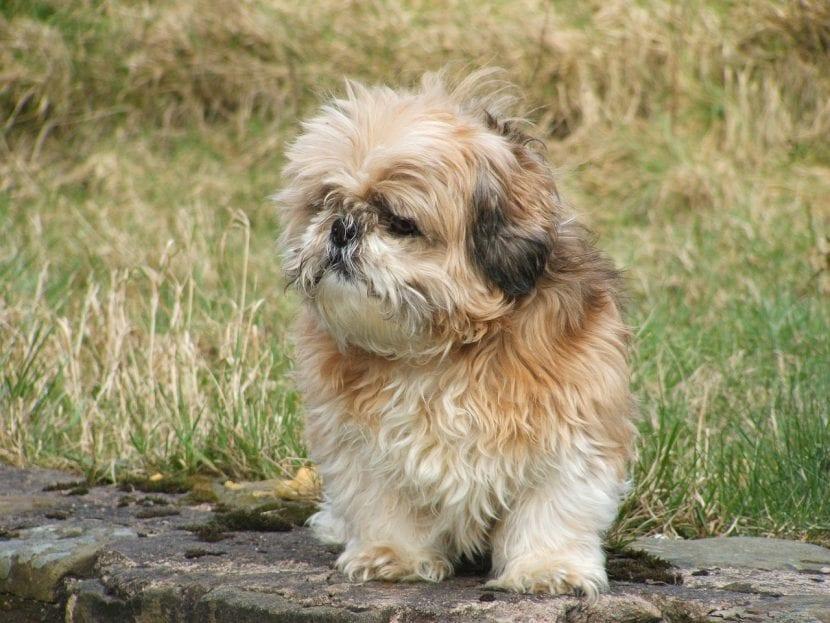 Cómo Son Los Perros De Raza Shih Tzu