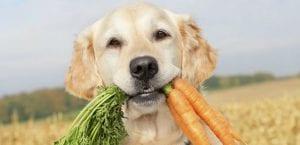 Golden Retriver con unas zanahorias.