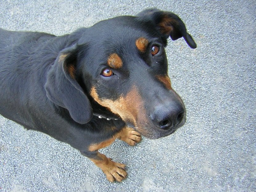 Beauceron adulto