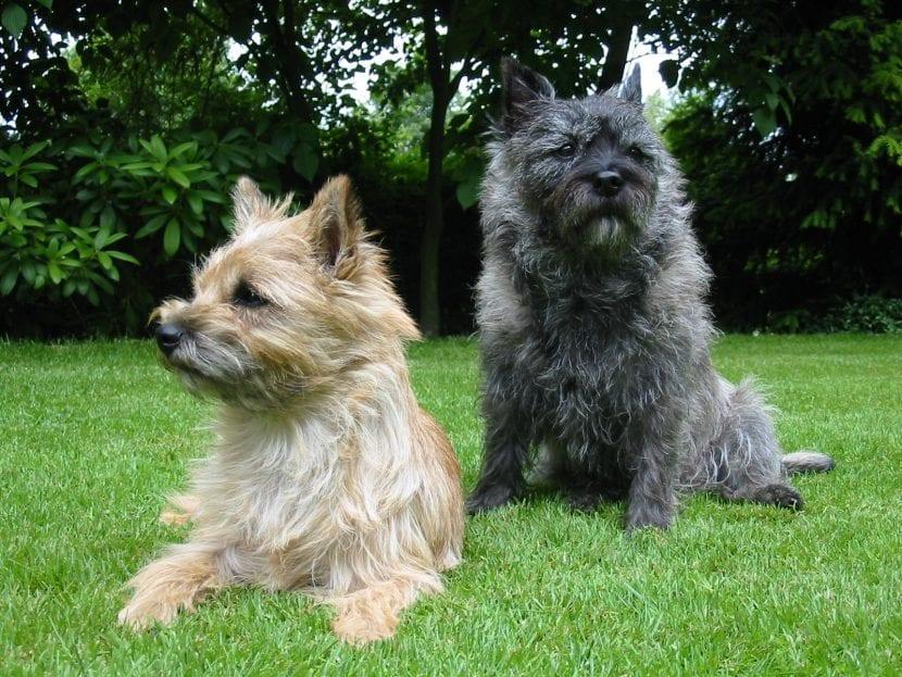 Perros de la raza Cairn Terrier en el jardín