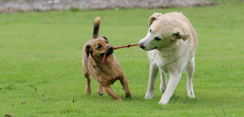 Dos perros jugando en el campo.