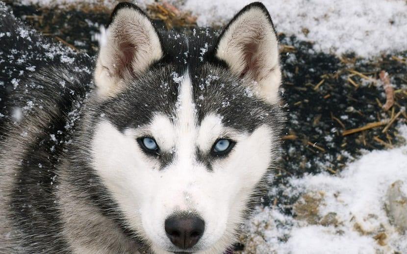comportamiento husky