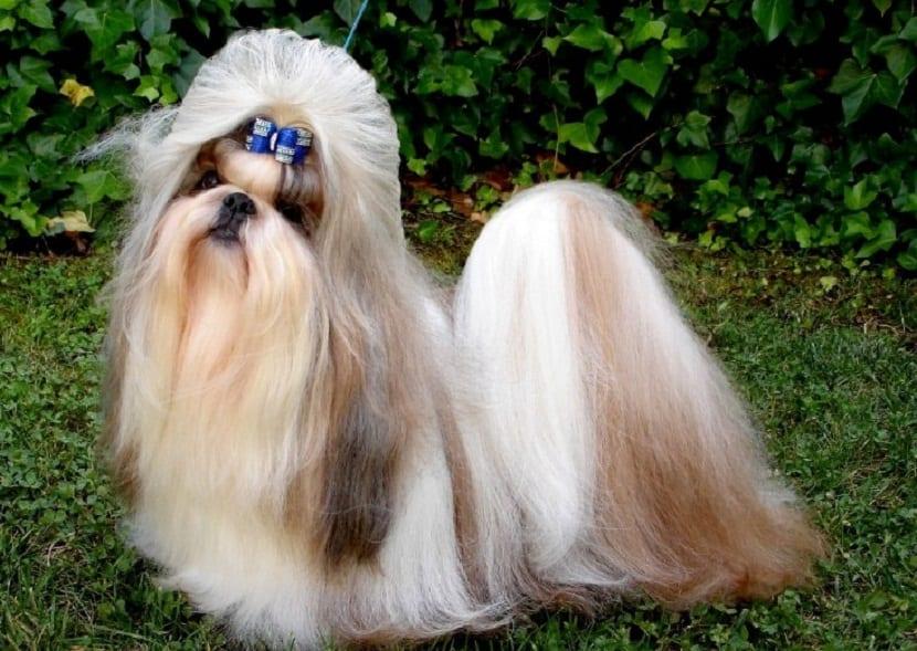 origen raza de perro Lhasa Apso