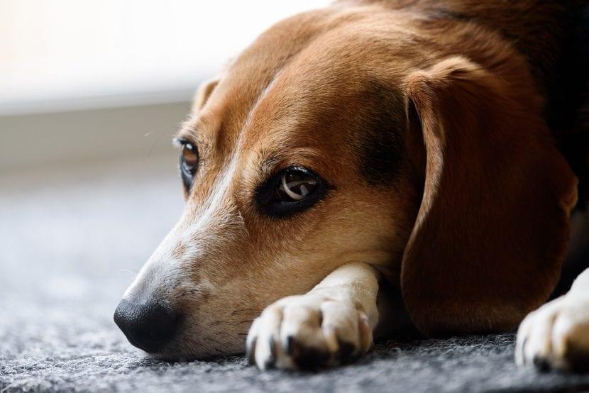 Perro de la raza Beagle triste