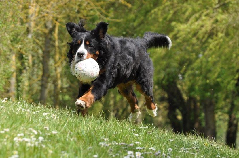 Perro adulto de la raza Boyero de Berna