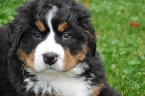 Cachorro de Boyero de Berna