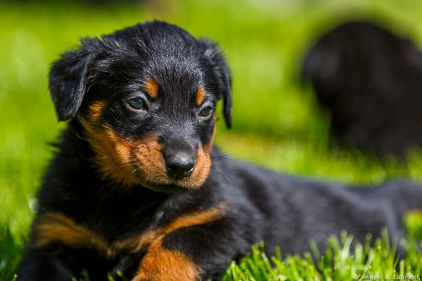 Cachorro de Beauceron