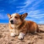 El cachorro de Corgi galés necesita hacer ejercicio