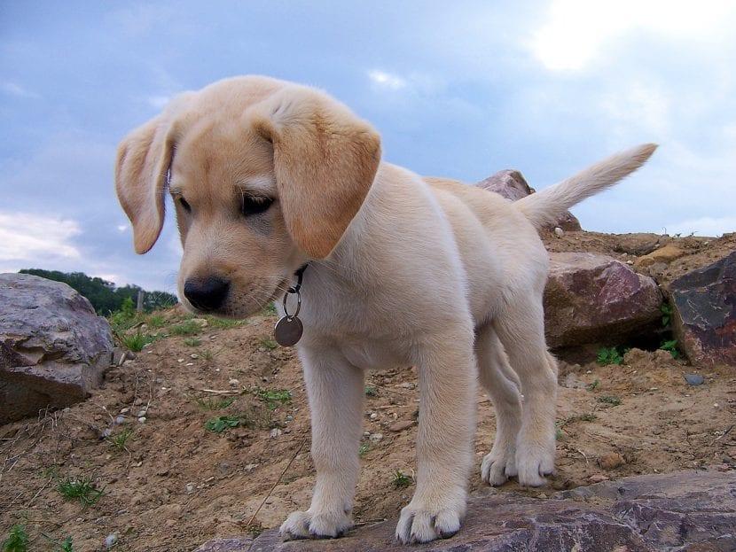 Cachorro de labrador marrón