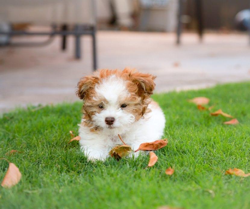 Cachorro de poodle toy