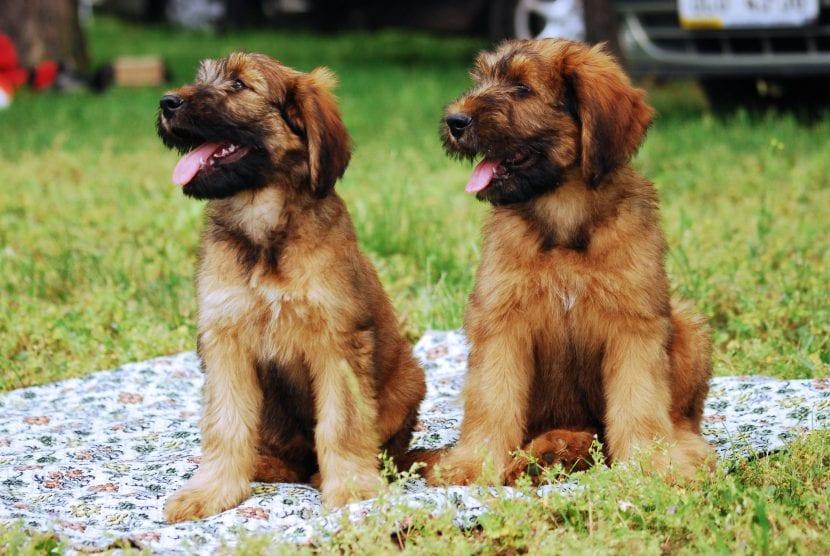 Cachorros de la raza Briard