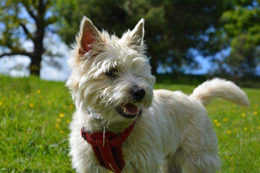 Perro de la raza Cairn Terrier
