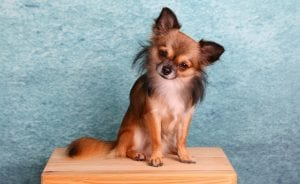 Chihuahua marrón de pelo largo