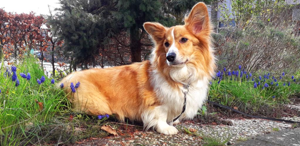 El Corgi Galés de Pembroke es un perro muy cariñoso