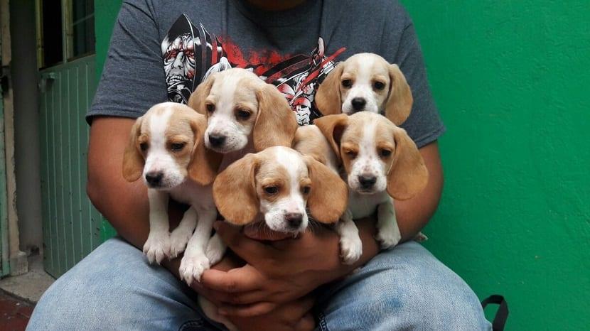 educacion de la raza Beagle