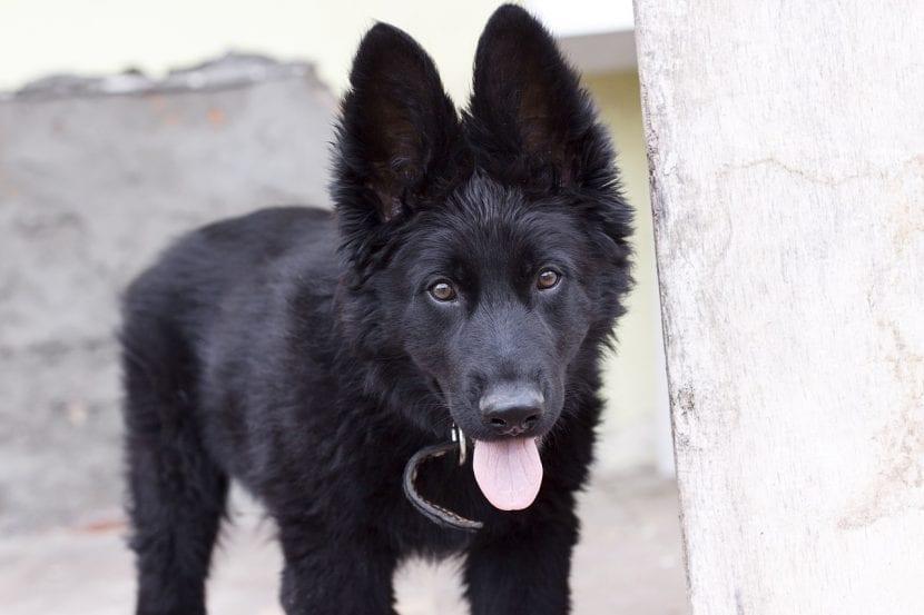 Cachorro de pastor alemán negro