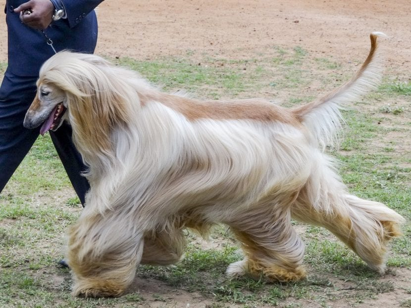 Perro afgano caminando