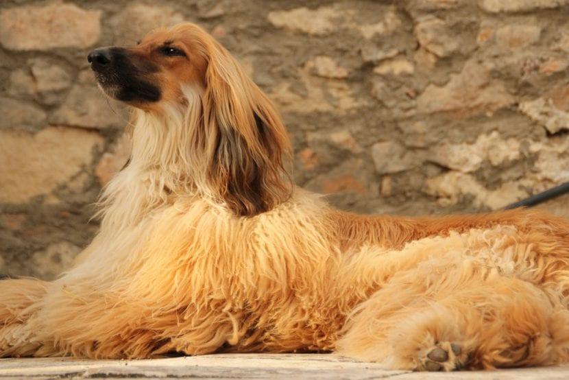 Ejemplar de perro afgano adulto