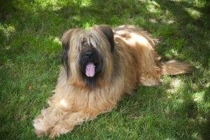 Perro adulto de la raza Briard