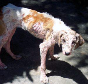 La sarna es una enfermedad de la piel que pueden tener los perros